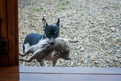 Puppy kills rabbit. Rat Terrier puppy with dead rabbit in mouth at home entryway Stock Image