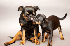 Puppy kisses mother Royalty Free Stock Photography
