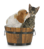 Puppy and kitten. Cute puppy and kitten sitting in wooden bucket on white background Stock Photos