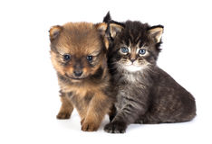 Puppy and  kitten. The puppy of the spitz-dog with a kitten Royalty Free Stock Image