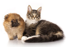 Puppy and kitten Stock Photography