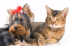 The puppy and kitten. In studio Royalty Free Stock Photo