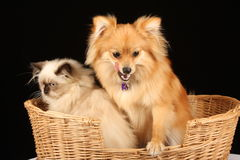 Puppy and Kitten in Basket Royalty Free Stock Image