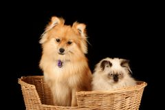 Puppy and Kitten in Basket Stock Image