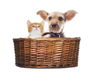 Puppy and kitten in a basket Royalty Free Stock Photo