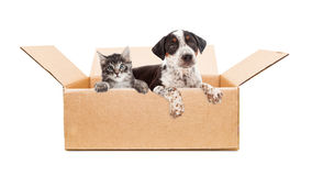Puppy and Kitten in cardboard box. Cute mixed breed puppy and kitten together in cardboard box Stock Photo