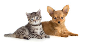 Puppy and kitten or cat and dog together Stock Photos