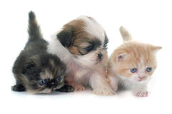Puppy, kitten and chick Royalty Free Stock Photography