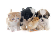 Puppy, kitten and chick. Persian kitten , puppy shih tzu and chick in front of white background Stock Images
