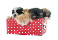 Puppy, kitten and chick. Persian kitten , puppy shih tzu and chick in front of white background Royalty Free Stock Photos