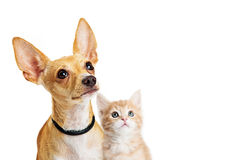 Puppy and kitten closeup looking up Stock Photography