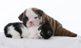 Puppy and kitten Royalty Free Stock Photos