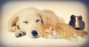 Puppy and  kitten and guinea pig Stock Photos