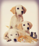 Puppy and kitten and guinea pig Royalty Free Stock Photo