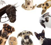 Puppy and kitten and guinea pig Stock Photography