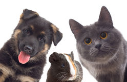 Puppy and kitten and guinea pig Royalty Free Stock Photos
