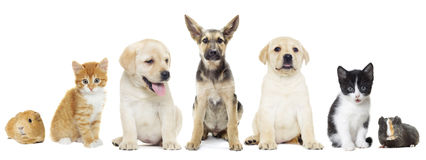 Puppy and kitten and guinea pig Stock Images