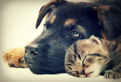 Puppy and kitten. Lie together royalty free stock photography