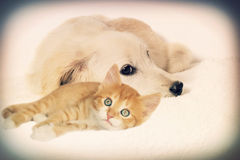 Puppy and kitten looking Royalty Free Stock Photography