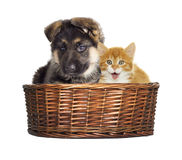 Puppy and kitten looking Royalty Free Stock Images