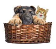 Puppy and kitten looking Stock Images