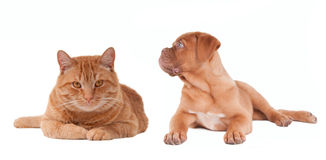 Puppy and kitten lying next to each other Royalty Free Stock Photo