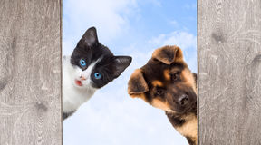 Puppy and kitten peering Royalty Free Stock Photo