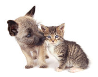 Puppy and Kitten playing. A Cairn Terrier puppy sniffing a kitten Stock Photos