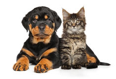 Puppy and kitten. Rottweiler Puppy and Maine-coon kitten together. Portrait on a white background Stock Image