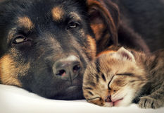 Puppy and kitten. Sleep together royalty free stock photo