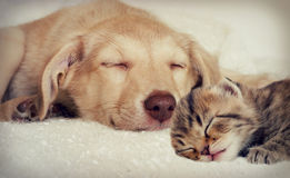 Puppy and kitten. Sleep together Stock Images