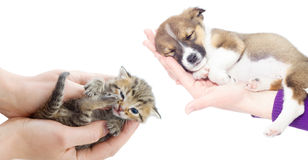 Puppy and kitten sleeping in the hands Stock Images