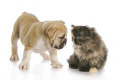 Puppy and kitten sniffing Royalty Free Stock Photos