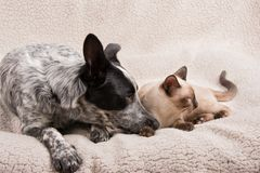 Puppy and kitten snuggled up. Lying down next to each other, looking to the right Stock Photography