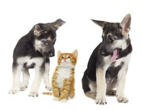 Puppy and kitten together Stock Photos