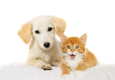 Puppy and  kitten watching Royalty Free Stock Photos