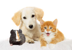 Puppy and  kitten watching Royalty Free Stock Photo