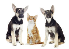 Puppy and kitten watching Stock Photos