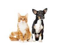 Puppy and kitten watching Royalty Free Stock Images