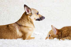 Puppy and kitten watching Royalty Free Stock Photography