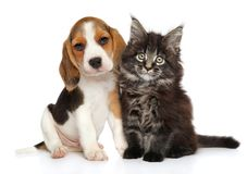 Puppy and kitten on white background. Beagle puppy and Maine-coon kitten on white background. Baby animal theme royalty free stock photography