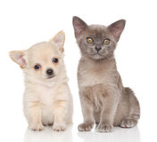Puppy and kitten on white background Royalty Free Stock Photo