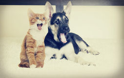 Puppy and kitten yawning Stock Image