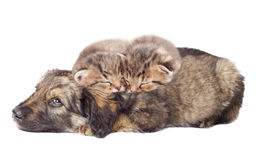Puppy and kittens. Sleeping together Royalty Free Stock Image