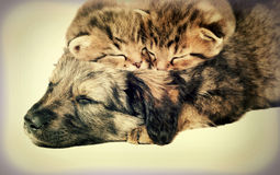 Puppy and kittens. Sleeping together Royalty Free Stock Photography