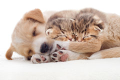 Puppy and kittens sleeps Stock Photography