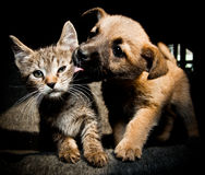 Puppy kitty love and kiss. Will they be the best friends or gonna hate each other Royalty Free Stock Images