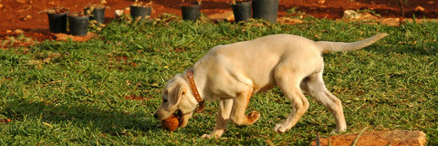 Puppy lab 04. Playing with a tennis ball Stock Image