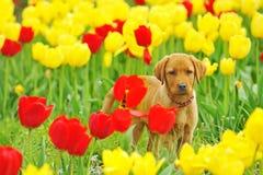 Puppy Labrador Royalty Free Stock Photos
