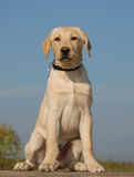Puppy labrador Royalty Free Stock Images